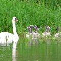Labuť bílá s mláďaty